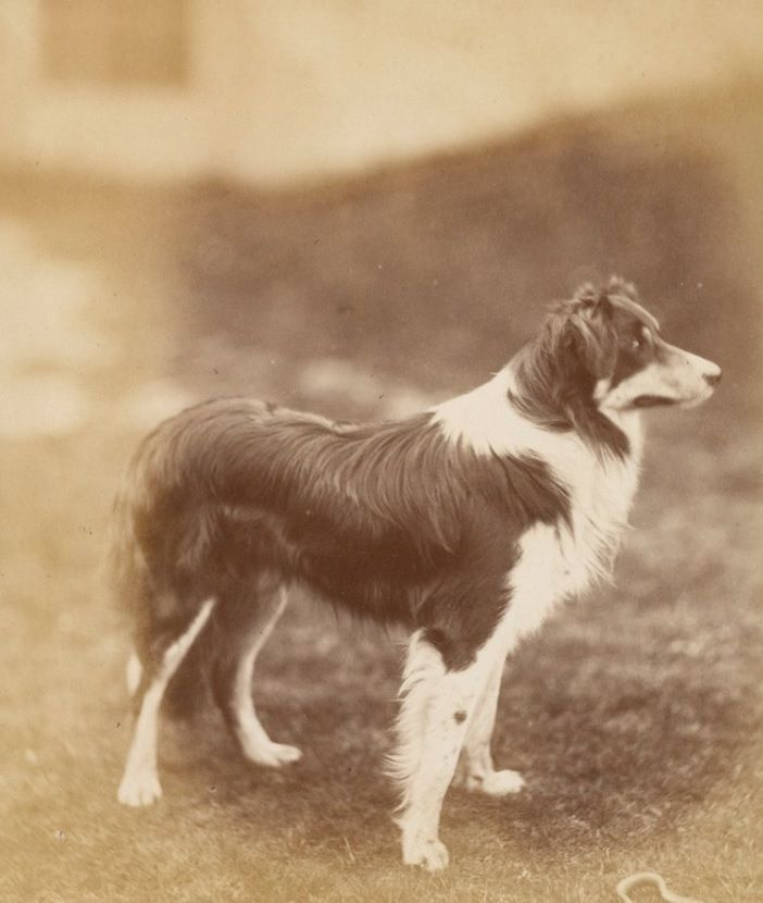 Sailor 1878 Son Of Queen Victoria S Collies Noble And Nellie