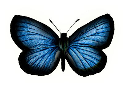 Google Image Result for http://thebutterflycircus.com/wp-content/themes/z-canvas-bflycircus/images/butterfly/blue-butterfly2.png
