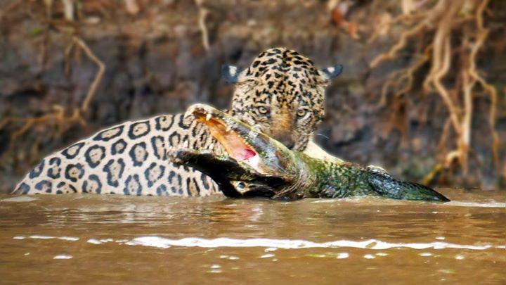 Crocodile or Alligator #manga #animes #movie #onlinestore #fans #movies