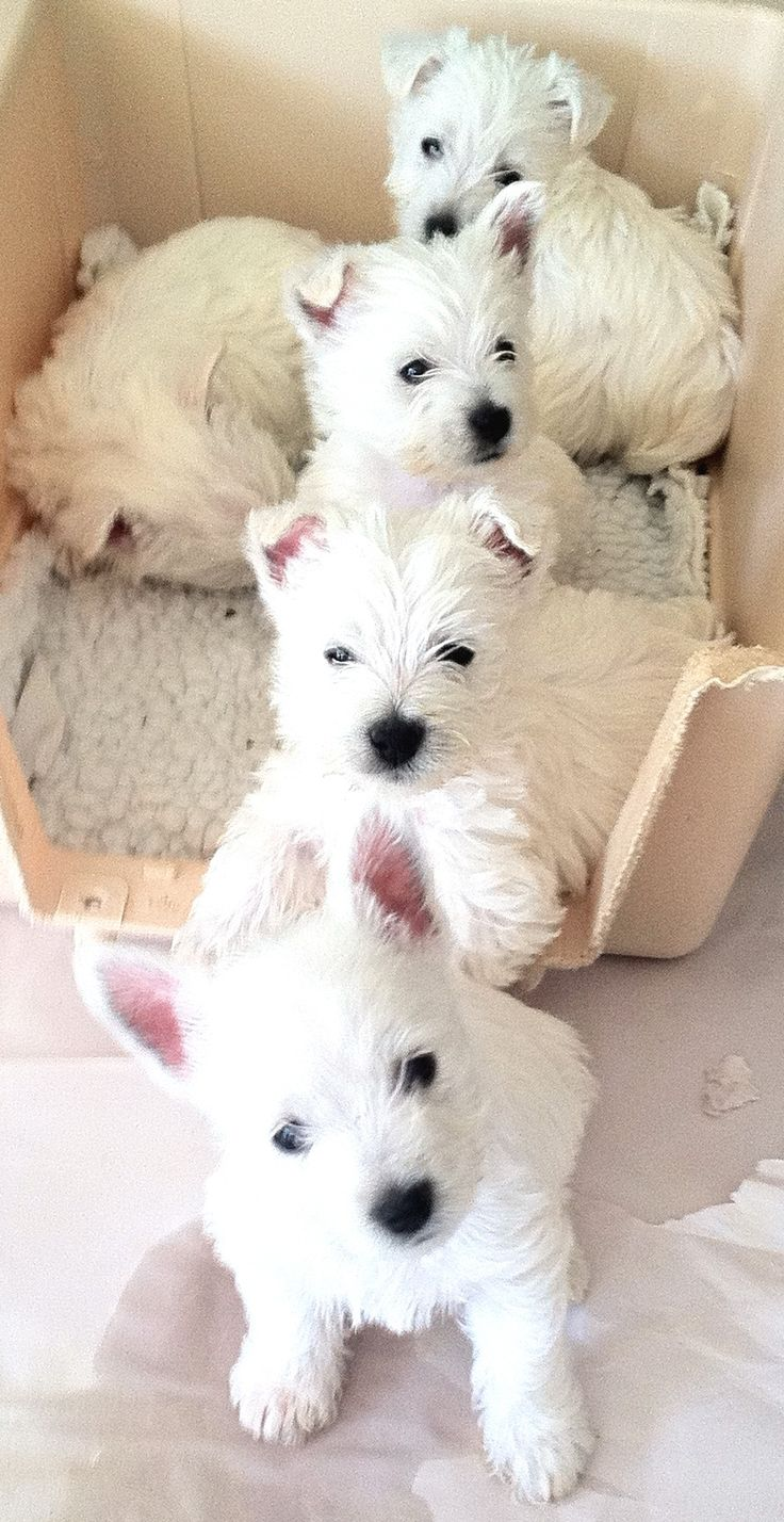 ~Westie pups, Four in a row ✿⊱╮