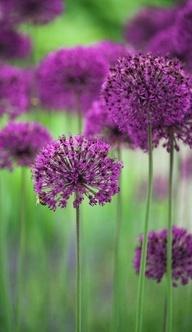 .Zierlauch - Allium