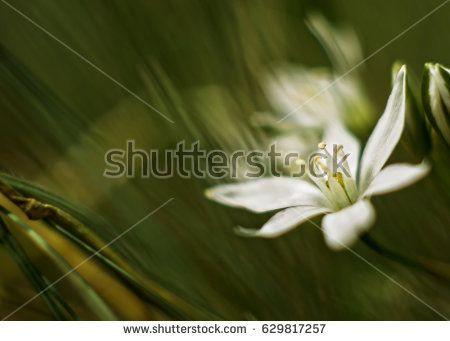 Wild white flower, very soft looking, blurred effect.