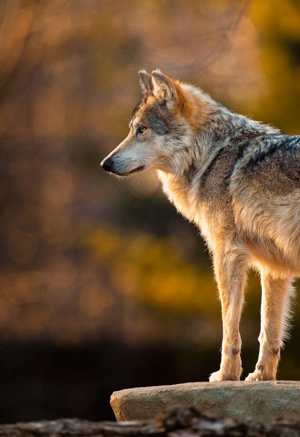 earthandanimals:      Mexican Gray Wolf      Photo by Glenn Nagel