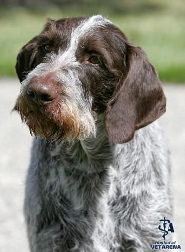 German Wirehaired Pointer History 25+ Best Ideas ...