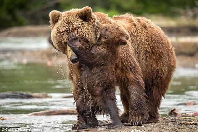 One of the cubs embraces its mother, digging its sharp claws into her forehead and biting ...