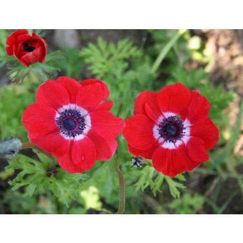 Anemone: Gardens Ideas