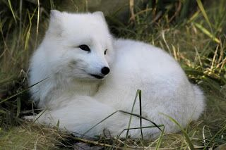 Raposa-do-Ártico (Alopex lagopus), também conhecida por Raposa-polar, é uma raposa de pequenas dimensões existente no Hemisfério Norte. Apesar de alguns classificadores a terem colocado no gênero Vulpes, este animal de há muito é considerado como único membro do gênero Alopex.