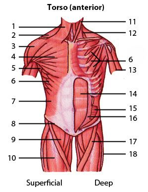 Muscular System : Muscles of the torso, quiz 1 : level 1 (identification)