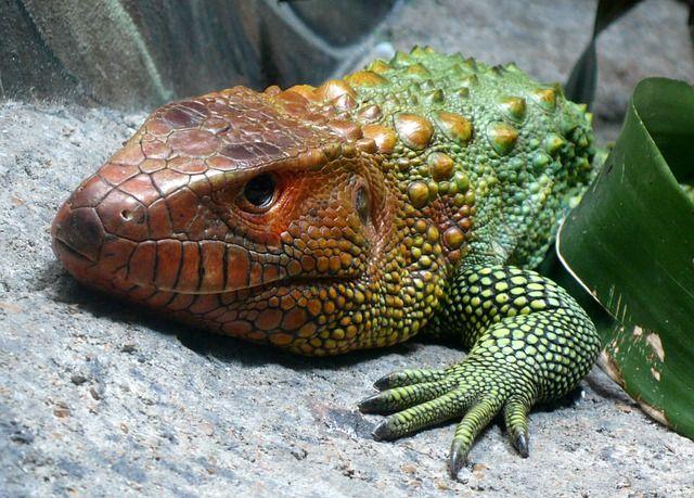 Kaiman Eidechse, Reptil, Exotische