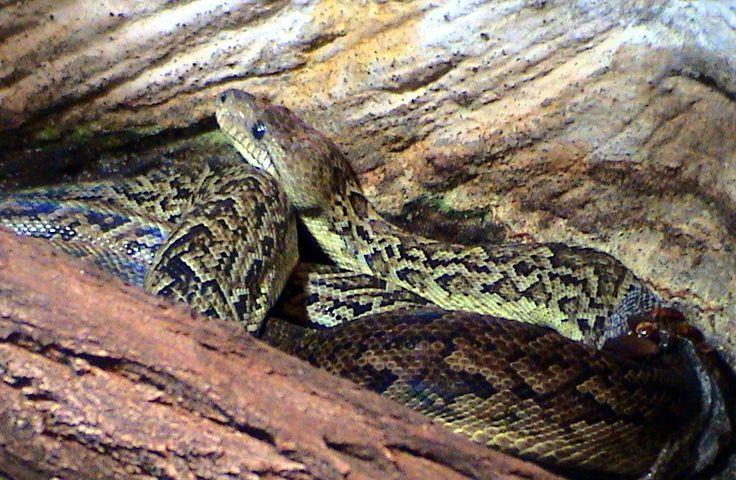 7. El majá (de Santa María): a boa or large snake