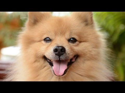 Pomerania (Spitz Enano Alemán) - Raza de Perro - YouTube