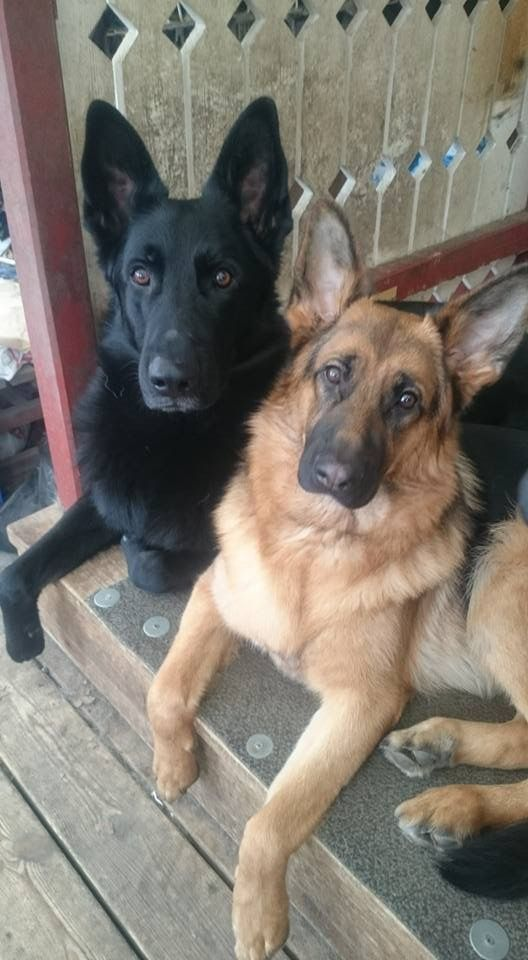 GSDs - What a lovely pair ☺ | @sophieeleana