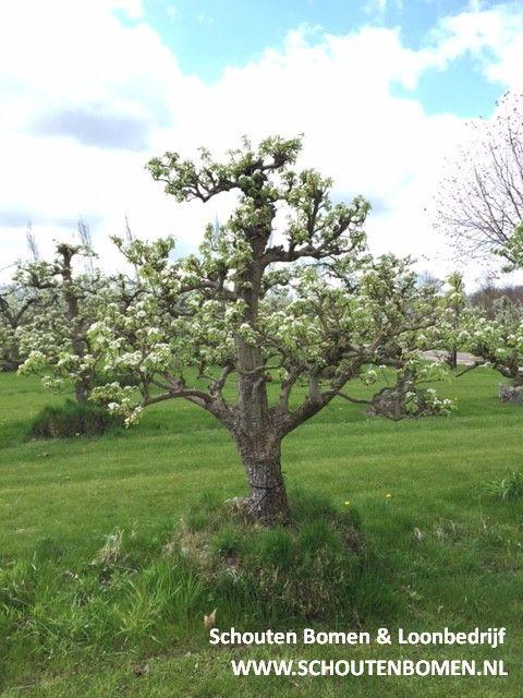 Prachtige bloesem (perenbloesem) in onze perenbomen. Voor karakteristieke oude fruitbomen, notenbomen en laan- en sierbomen bent u bij ons aan het goede adres! (Trefwoorden: perenbloesem/ oude perenboom/ oude perenbomen/ oude fruitbomen/ boomgaard)