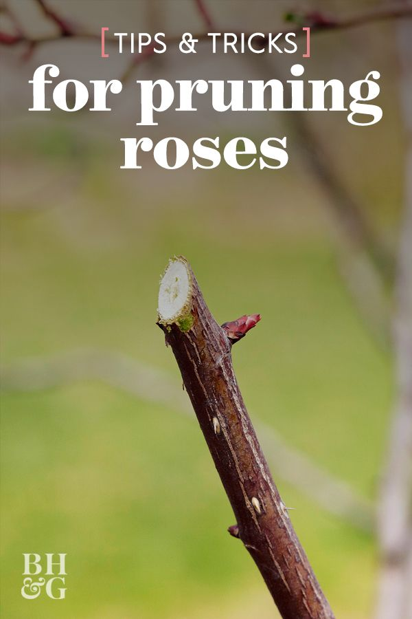 Here S How To Prune Your Roses To Get The Most Blooms And Healthiest Plants Pruning Roses Planting Roses Rose Plant Care