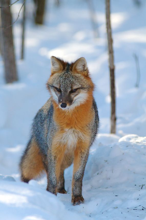 FUN GRAY FOX FACTS: These very small canids are about two feet long, plus the 12 to 15 inch long bushy tail. Description from thephotonaturalist.com. I searched for this on bing.com/images