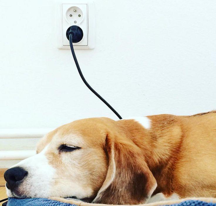 Low battery beagle  •. После долгих прогулок иногда без 220V никак. Наш любимец семьи - Илай . Он просто чумачечий от прогулок по горам . Our family member - Eli . He is crazy about mountain walking. #собака #бигль #прогулка #feedingtime #dog #beagle #fun