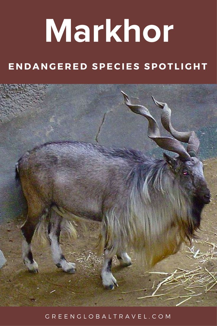 Learn about the Markhor, an endangered species   Afghanistan   Pakistan   India   Wild Goat  