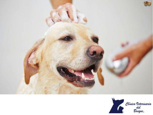 Shampoo que debes evitar usar en tu mascota. CLÍNICA VETERINARIA DEL BOSQUE. El Shampoo anticaspa que utilizamos los humanos pueden dañar seriamente la vista de tu perro por el contenido en selenio que tienen. Puede ser tan dañino que tu mascota podría perder un ojito. Utiliza siempre productos adecuados para tu mascota.  En Clínica Veterinaria del Bosque contamos con médicos especialistas para el cuidado de tu mascota.  www.veterinariadelbosque.com  #esteticacanina