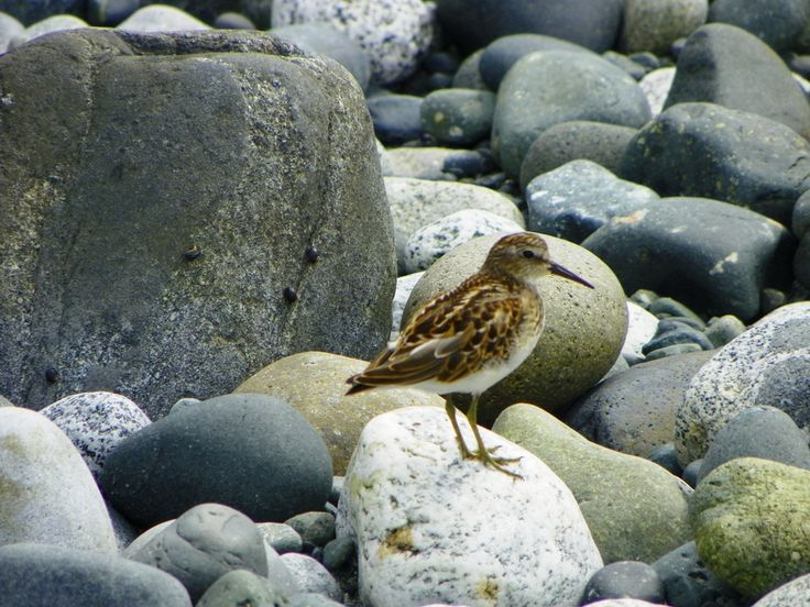 A pair of sand pipers