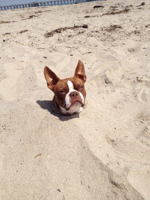 Jasper the red boston terrier dog in the beach sand. http://www.bterrier.com/jasper-the-boston-terrier-dog-in-the-beach-sand/