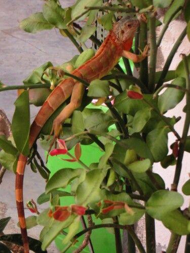 My red iguana