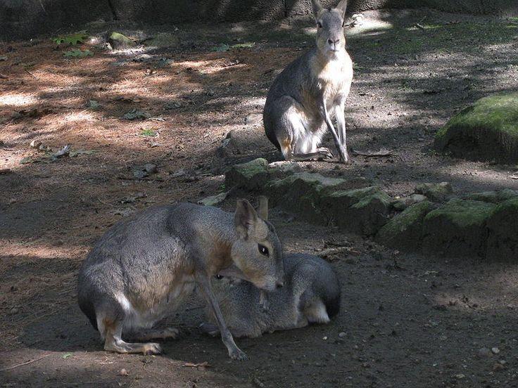 Mara family
