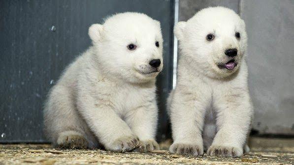 maliaria: Zoológico Hellabrunn em Munique (Alemanha), divulga fotos dos filhotes de ursos polares gêmeos