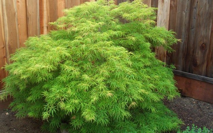 Acer palmatum dissectum 'Waterfall Japanese Maple' - Part shade full sun, Zones 5-8, 8-12'H 6-10' W. Beautiful lacy green dissectum that holds it's green color! A very fast grower! Waterfall is a weeping laceleaf variety. Turns brilliant golden tones, with hints of crimson. The weeping branch structure gives this plant a waterfall apperance as the foliage cascades down. A faster growing green laceleaf variety. Ideal as a specimen or even a container plant. A gorgeous tree!