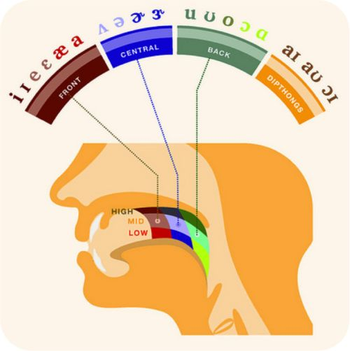 What phonetics teachers should use!! Where Our Bodies Produce Speech #language #linguistics