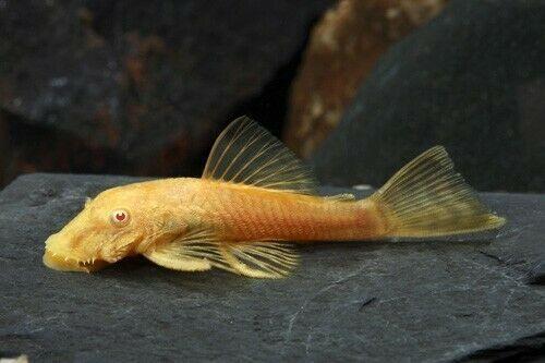 Albino Bristlenose Pleco Ancistrus Cf Cirrhosus Free Expedited Shipping Pleco Fish Plecostomus Aquarium Set