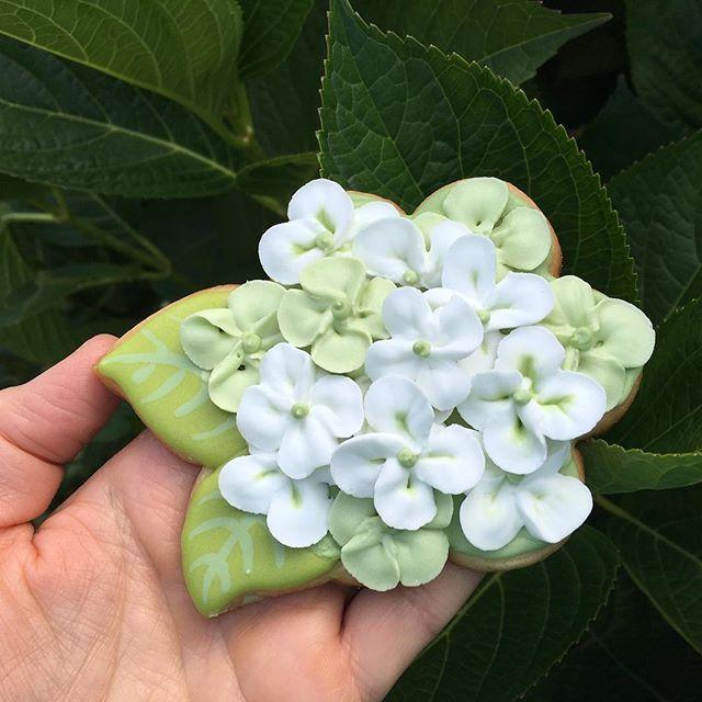 Look what's in bloom hydrangeas @sugarcookiekate