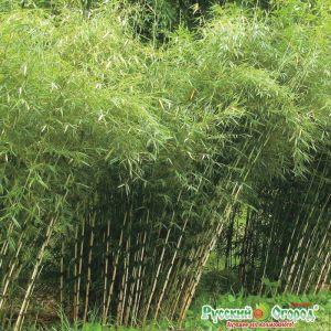 Листоколосник бамбуковый Биссета