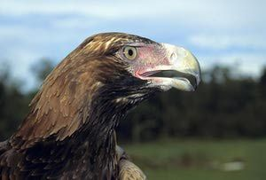 Bird Emblems of Australia: Northern Territory