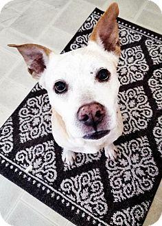 Ft. Myers, FL - Labrador Retriever/Husky Mix. Meet Amos, a dog for adoption. http://www.adoptapet.com/pet/17664318-ft-myers-florida-labrador-retriever-mix