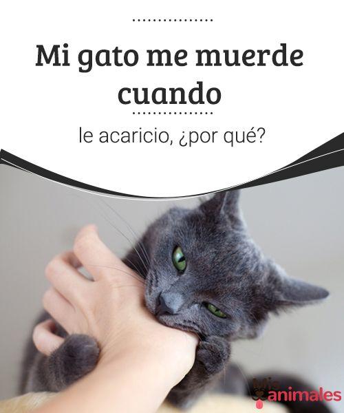 Mi gato me muerde cuando le acaricio, ¿por qué?  ¿Por qué mi gato me muerde? Encuentra en este artículo algunas respuestas sobre este tipo de comportamiento.