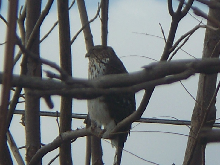 Cooper's Hawk in our backyard