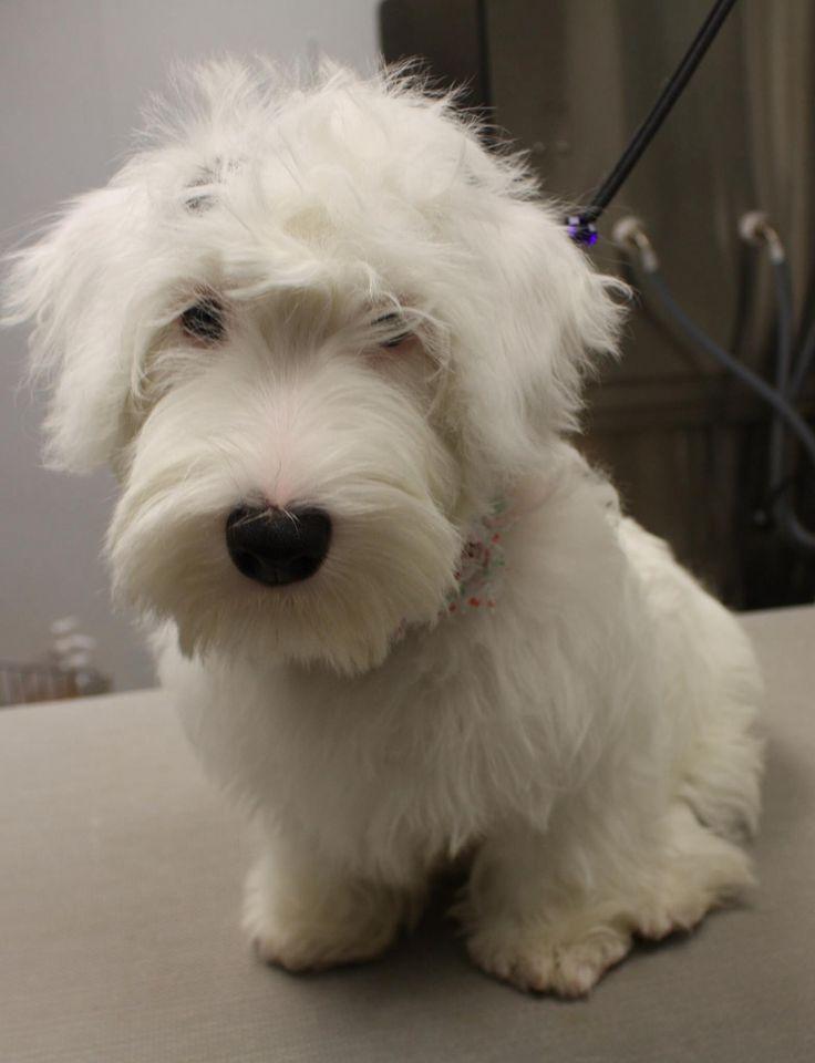 This is Rosie a Sealyham Terrier puppy.
