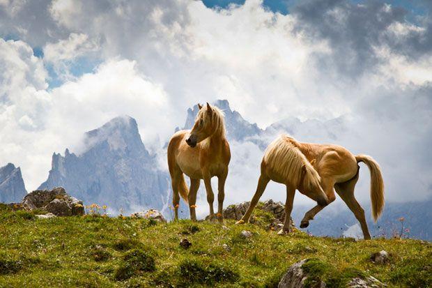 Fotograful Kevin Grace a reusit sa surprinda doi caluti salbatici, la plimbare in Alpii Dolomiti din nordul Italiei.