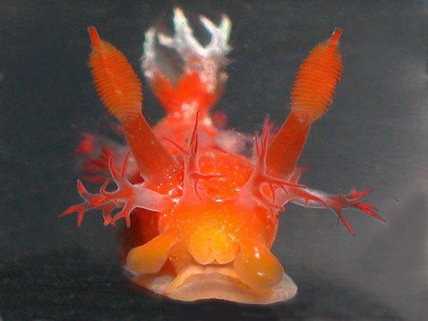 a nudibranch from Australia- pretty little toxic sea slugs :)