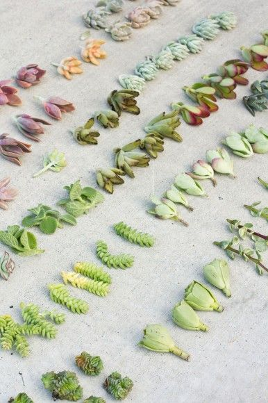 Succulent cuttings, neatly lined up