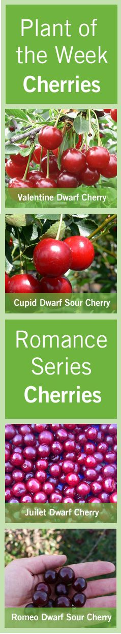 The University of Saskatchewan's Dr. Bob Bors and Rick Sawatsky created and released a successful series of hardy dwarf sour #cherries that can be grown in the #prairies.  The #Romeo, #Juliet, #Valentine, #Crimson #Passion and #Cupid are all apart of the #Romance series.  Find out more here http://www.bylands.com/blog-entry/plant-week-june-14-2012-romance-series-cherries