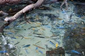 1000 Images About Aquarium Fish In Florida Ponds On Pinterest Miami Fresh Water And Tropical