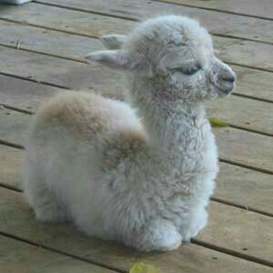 "Cute Baby Llama.  ""Adorable Baby Animals"""