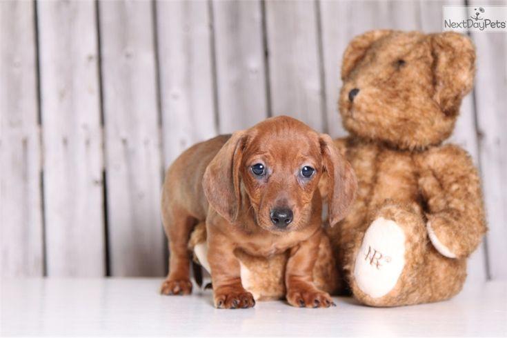 Bert male aca mini short haired dachshund dachshunds