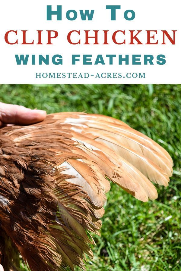How To Clip Chicken S Wings Easy Feather Clipping Chicken Diy Clipping Chickens Wings Chickens