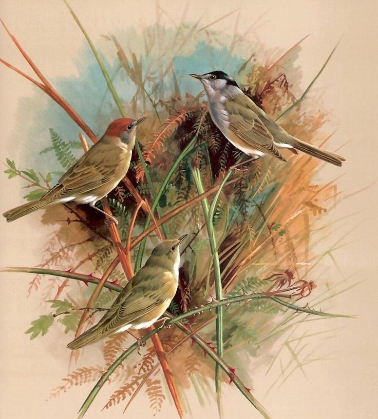 Blackcap and Garden Warbler