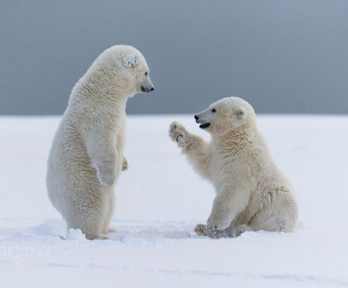 Polar Bear cubs by cvasselin1973