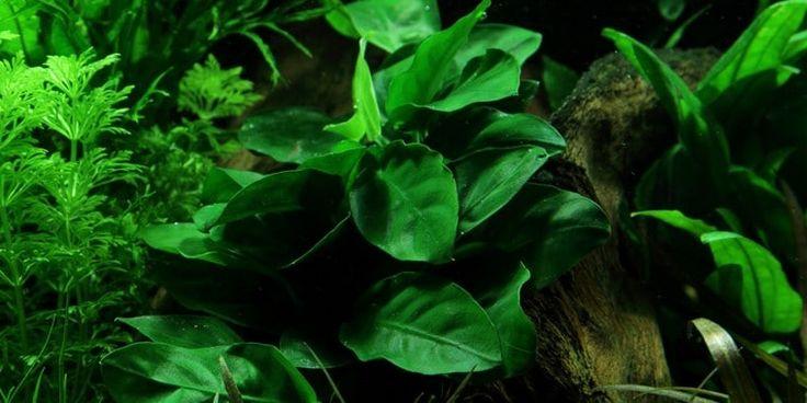 Abubias, een leerachtige en rustige aquariumplant voor een aquascape.