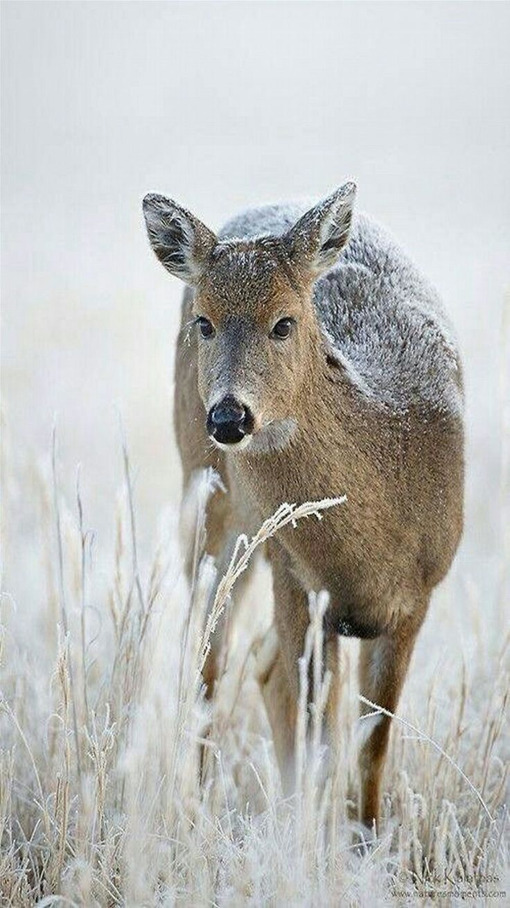 Deer - Snowfall on a Whitetail doe.