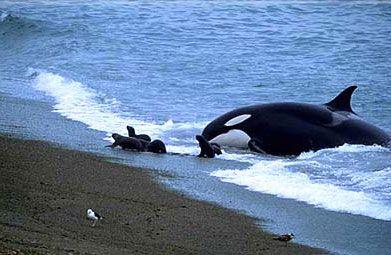 Las Orcas de la Patagonia  Las Orcas son mamíferos pertenecientes al orden de los cetáceos, el miembro mayor de la familia de los delfines, a diferencia de las ballenas, poseen dientes, En Península Valdés se las observa principalmente entre los meses de Febrero y Abril y de Octubre a Noviembre en Punta Norte Caleta Valdés y Golfo San Jose.
